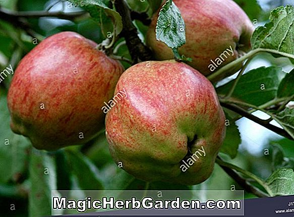 Malus domestica (Duchess Apple)