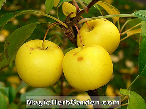 Malus (pomme spartiate) - #2