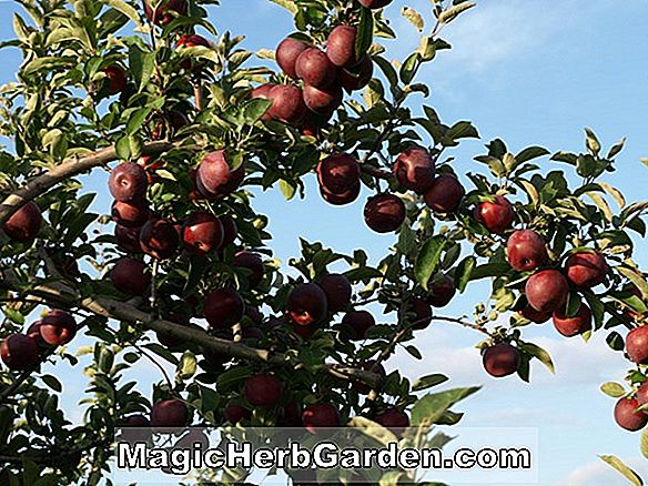 Malus domestica (Holiday Apple)