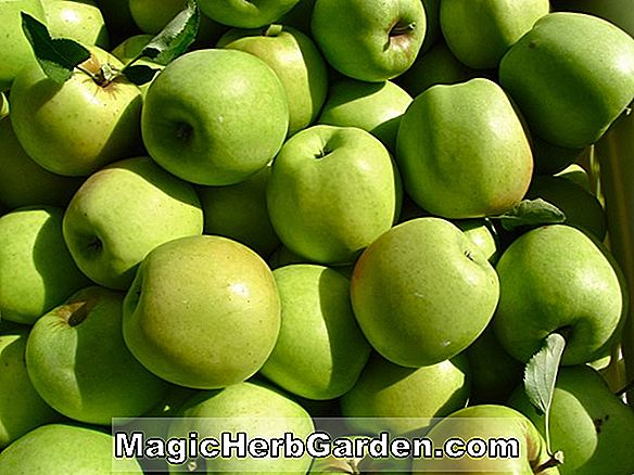 Malus domestica (Rhode Island Greening Apple)