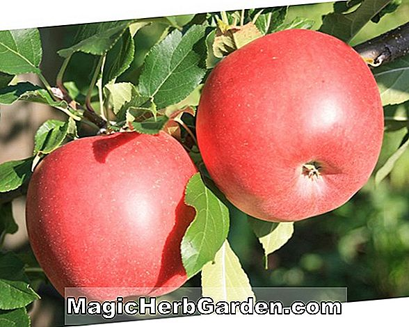 Malus domestica (Nova Easy-Grow Apple) - #2