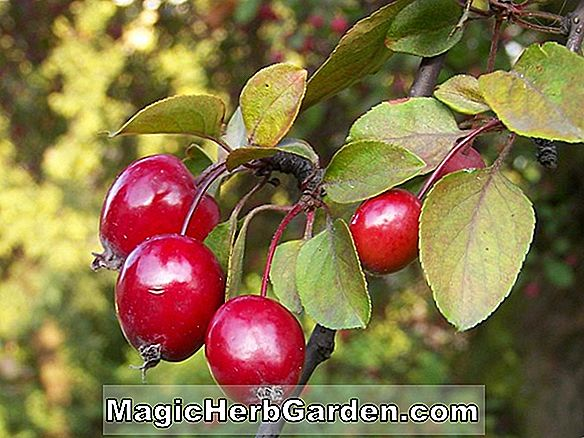 Malus (Pommetier Big River)