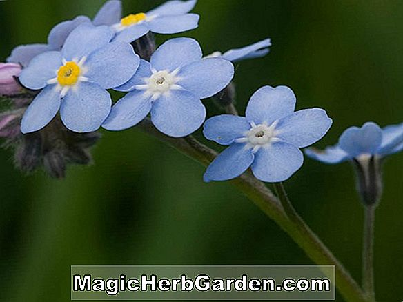 Myosotis sylvatica (Forget-Me-Not)