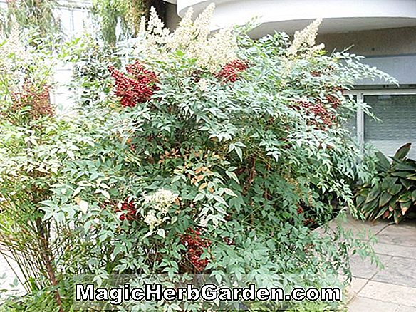 Nandina domestica (Richmond Nandina)