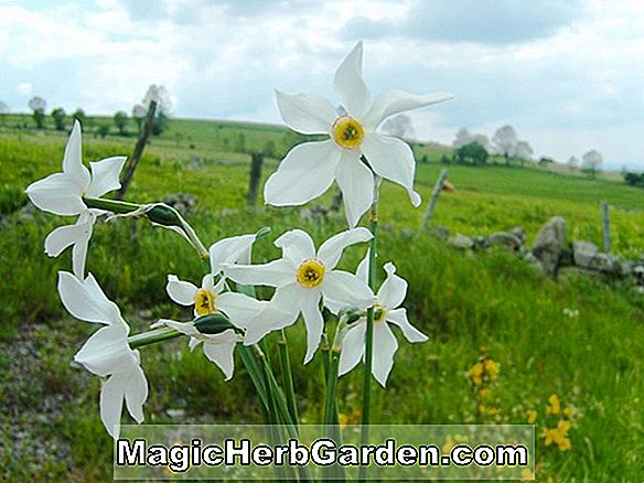 Narcisse (Dovekie Narcissus)