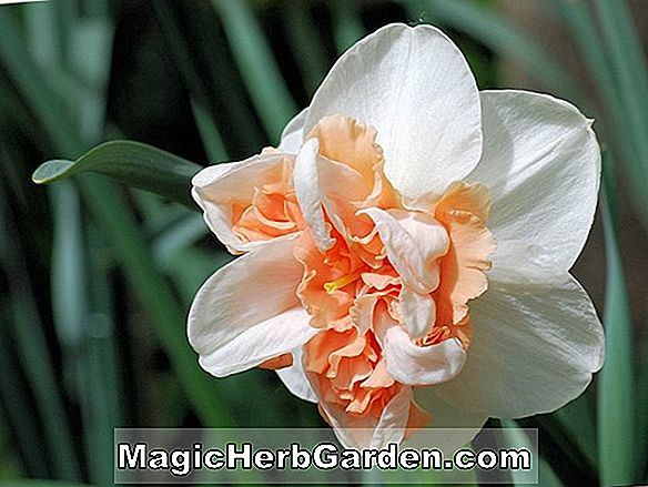 Plantes: Narcisse (jonquille rose)