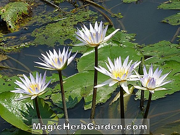 Nymphaea (Janice C. Wood Waterlily)