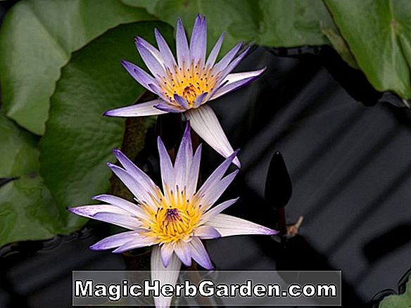 Plantes: Nymphaea (St. Louis Gold Waterlily)