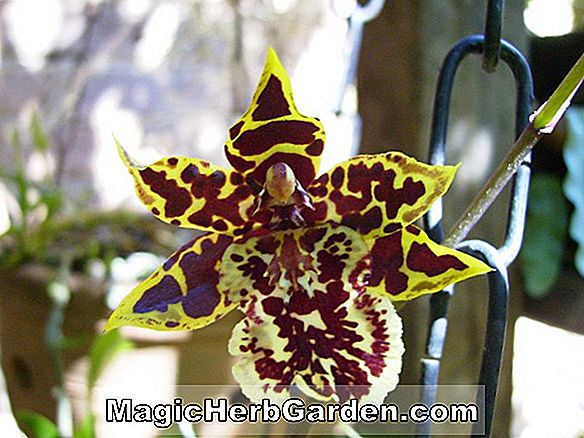 Odontocidium (orchidée Crowborough)