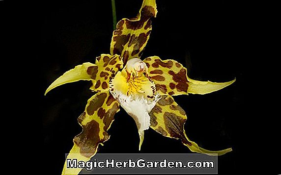 Odontocidium (orchidée Purbeck Gold)