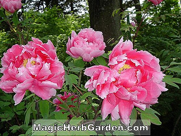 Paeonia lactiflora (pivoine Mary Eddy Jones)