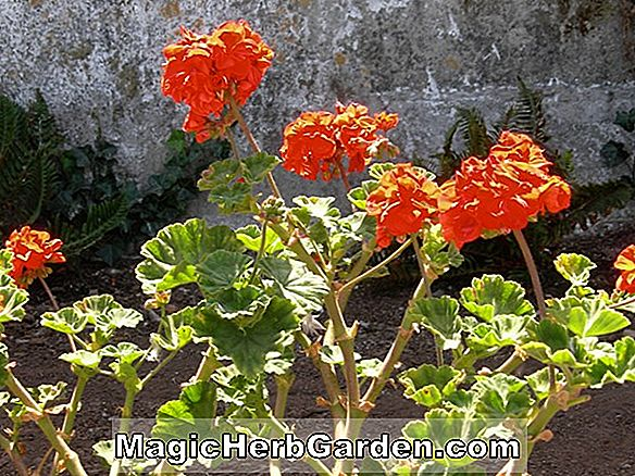 Plantes: Pelargonium (Orange Ricard Geranium)