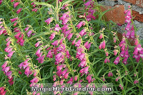 Penstemon (Mexicali hybride Penstemon)