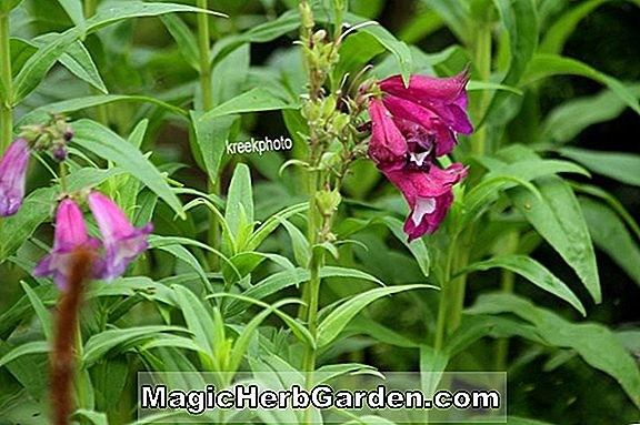 Penstemon (Osprey Penstemon)