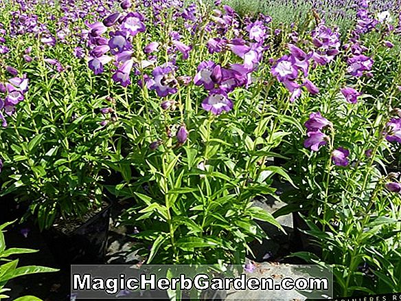 Penstemon (Penstemon Pourpre Papale) - #2