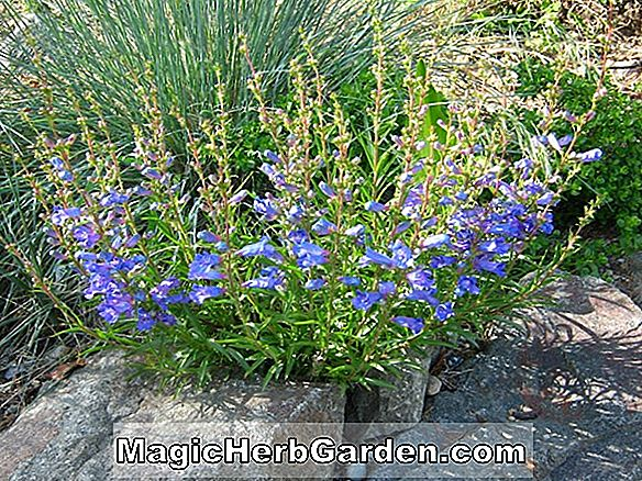 Penstemon heterophyllus (True Blue Penstemon)