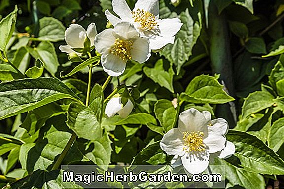 Philadelphus (Mock Orange Snowdwarf) - #2