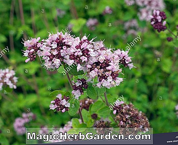 Phlox paniculata (Prince of Orange Garden Phlox)