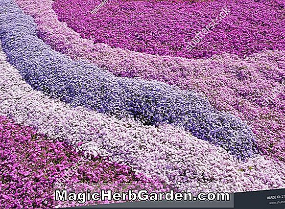 Phlox subulata (Phlox de Greencourt Purple Moss) - #2