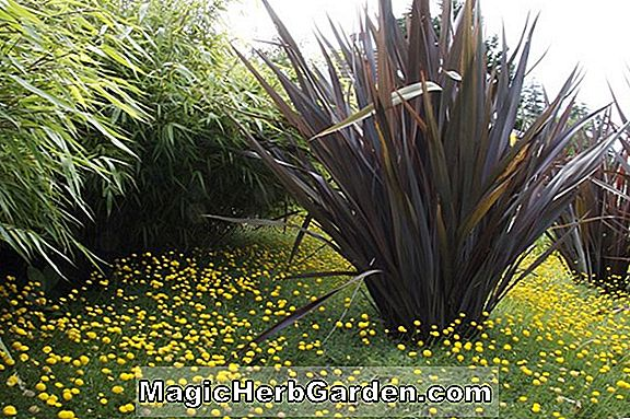 Phormium tenax (Bronze Baby New Zealand Flax)