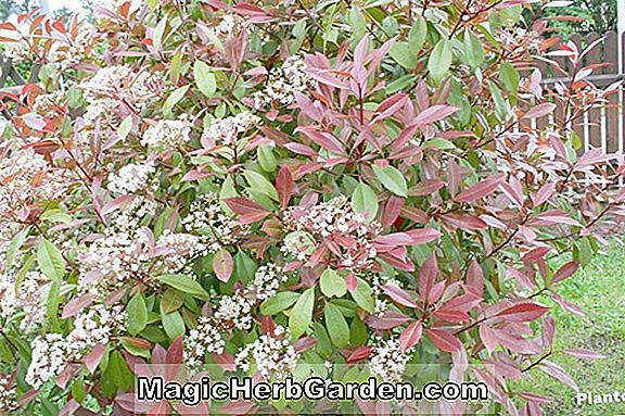 Plantes: Photinia fraseri (Red Robin Photinia)