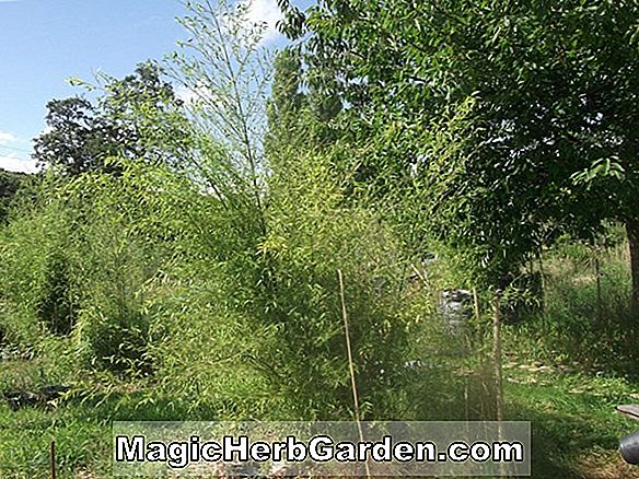 Phyllostachys glauca (bambou glauque) - #2