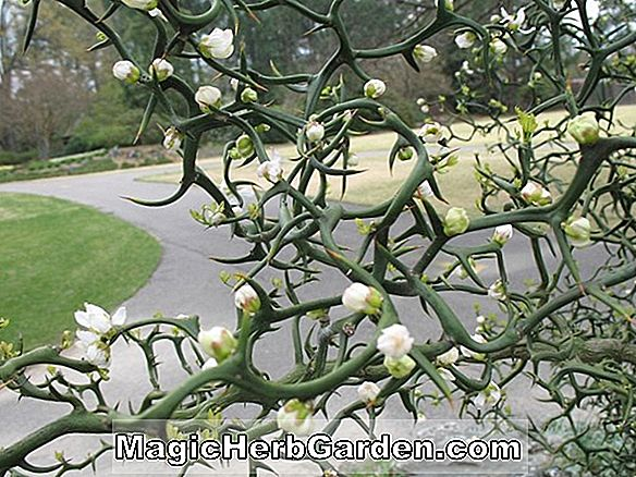 Poncirus trifoliata (Orange Hardy)