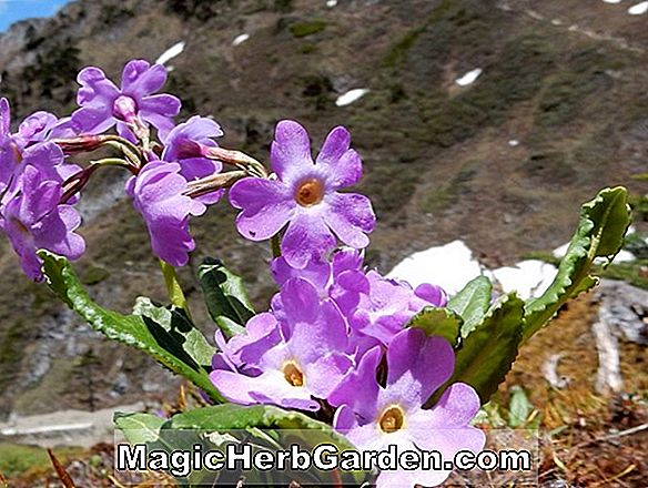 Primula edgeworthii (Edgeworth Primrose) - #2