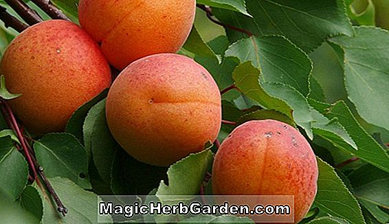 Prunus armeniaca (Early Cot Apricot)