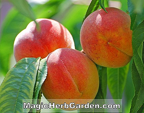 Prunus persica (Flavorcrest Peach)