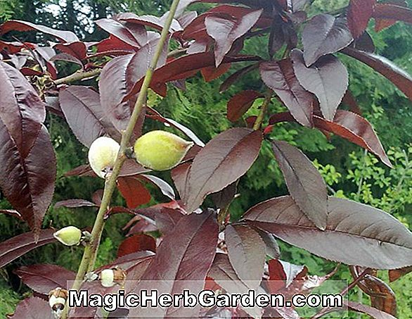 Prunus persica (Peach Tree) - #2