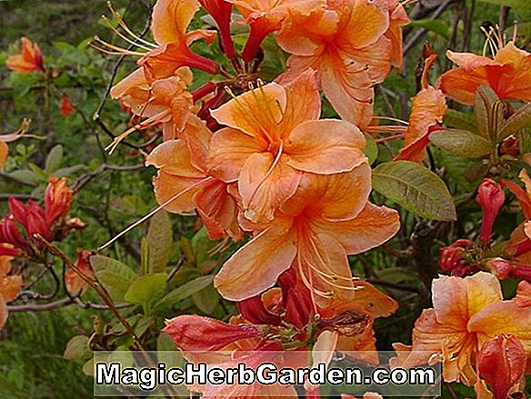 Rhododendron (Red Tip Robin Hill Hybrid Azalea)