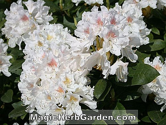 Rhododendron catawbiense (Cunningham's Blush Catawba Rhododendron) - #2
