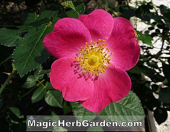 Rosa (Amy Robsart Rose) - #2