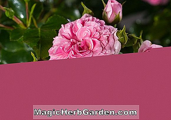 Rosa (Rose royale canadienne)
