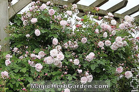 Rosa (Tendre Blush Rose)