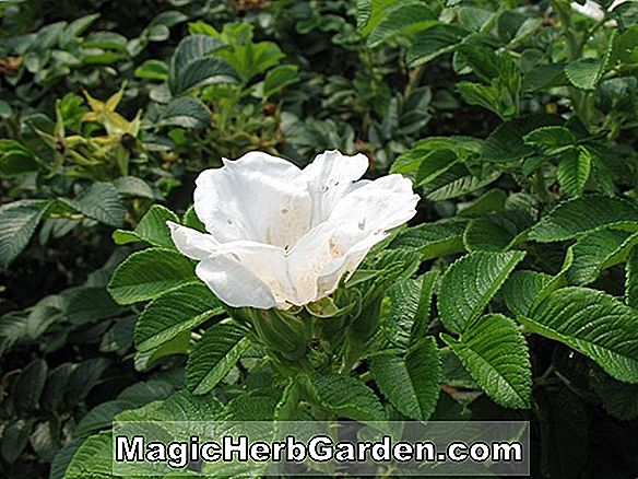 Rosa (Blanc Double de Coubert Rugosa Rose) - #2