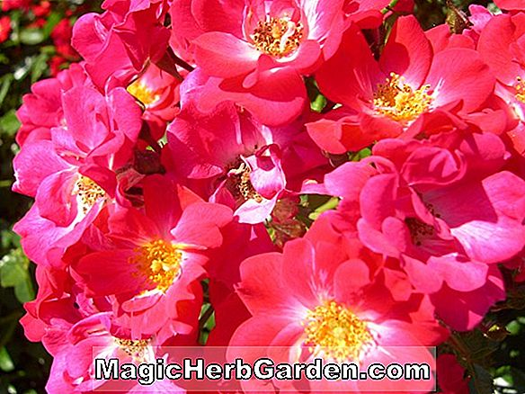 Plantes: Rosa (commandant Beaurepaire Rose)