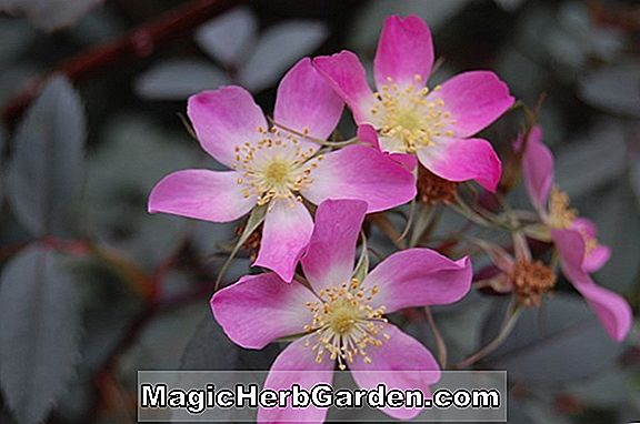 Rosa glauca (CommonName non disponible)