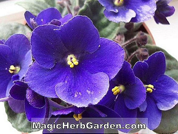 Saintpaulia ionantha (Sweetheart Trail African Violet)