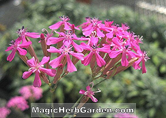 Silene armeria (Sweet William Catchfly)