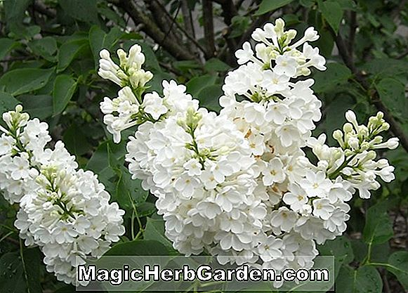 Syringa vulgaris (Miss Ellen Willmott Lilas commun)