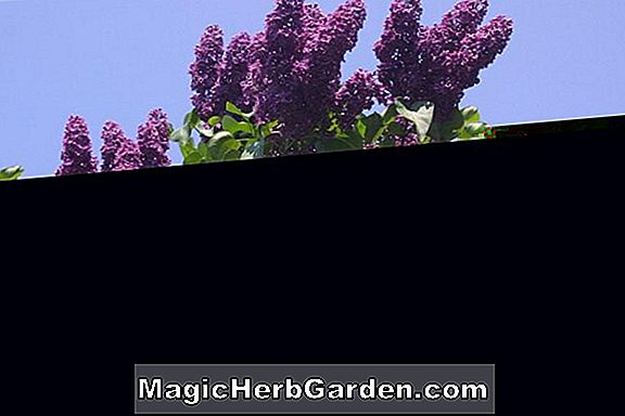 Syringa vulgaris (lilas commun Paul Thirion)