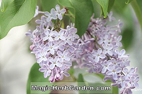 Syringa vulgaris (lilas commun de Churchill)