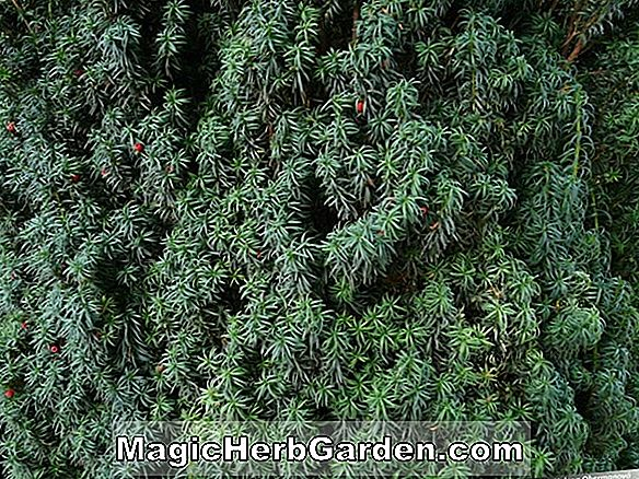 Taxus baccata (if anglais Erecta Aureovariegata) - #2