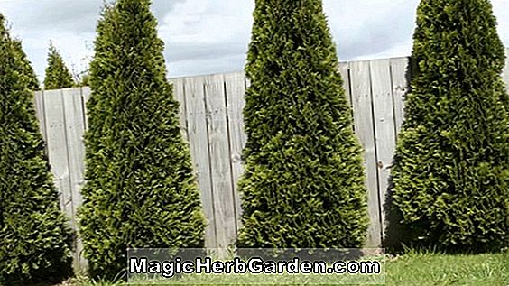 Thuja occidentalis (American Arborvitae) - #2