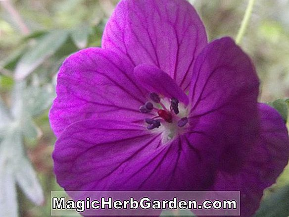 Groupe Tradescantia Andersoniana (Red Cloud)