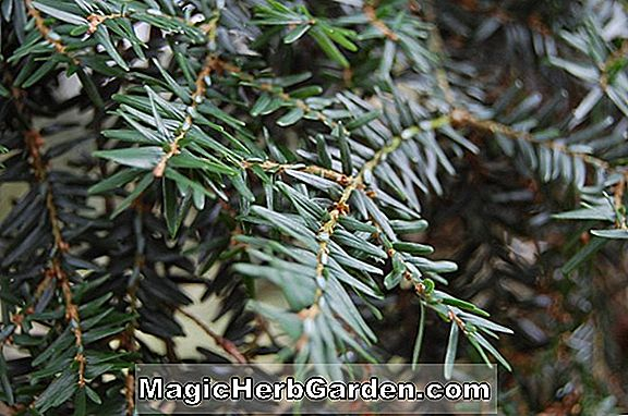 Tsuga canadensis (pruche canadienne Betty Rose)