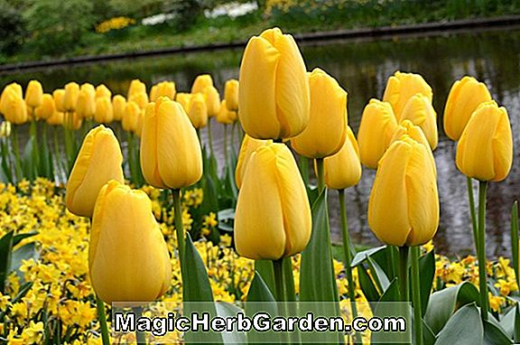Tulipa (Golden Hawk Tulip)