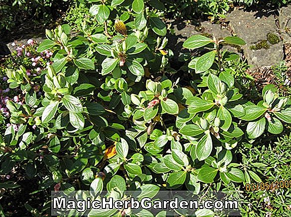 Vaccinium glaucoalbum (CommonName non disponible)